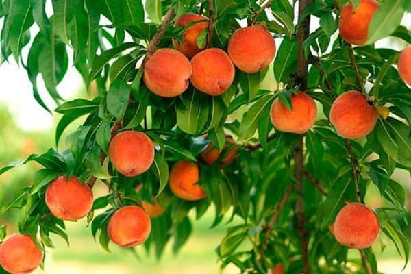 Посадка персика весной в подмосковье: лучшие сорта
