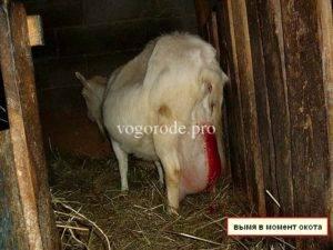 Окот козы - важный период, требующий контроль фермера