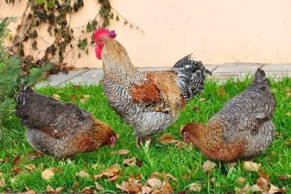 Билефельдер - порода кур (описание): фото, отзывы, яйценоскость, кормление, разведение, как выбрать, содержание