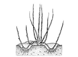 Как посадить фундук на даче, когда собирать как посадить фундук на даче, когда собирать