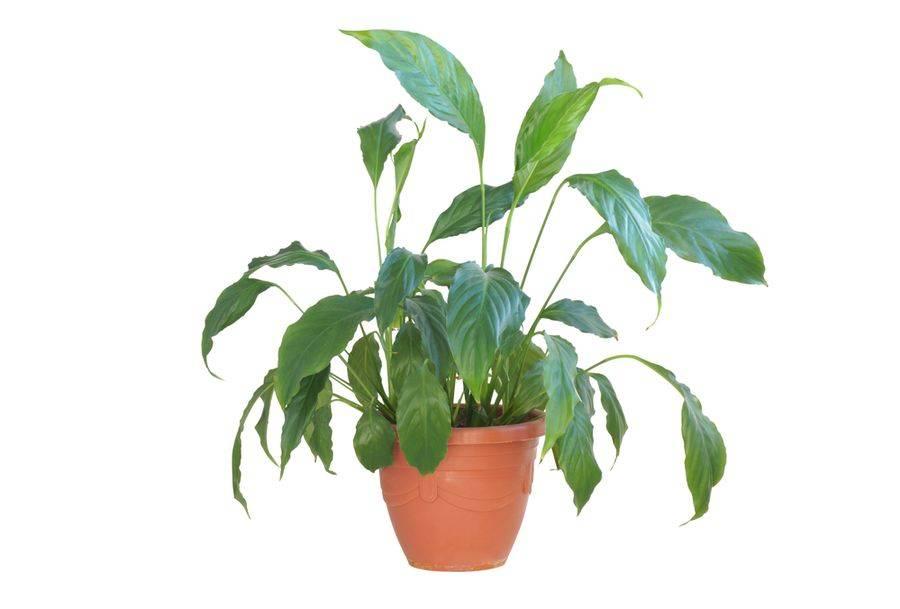 Особенности орошения спатифиллума. как поливать цветок в домашних условиях?