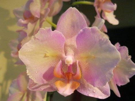 Орхидея биг лип: фото сортов фаленопсиса и распространенные виды, такие как мелоди, молния, леонтин, мультифлора и другие, а также история создания и характеристики