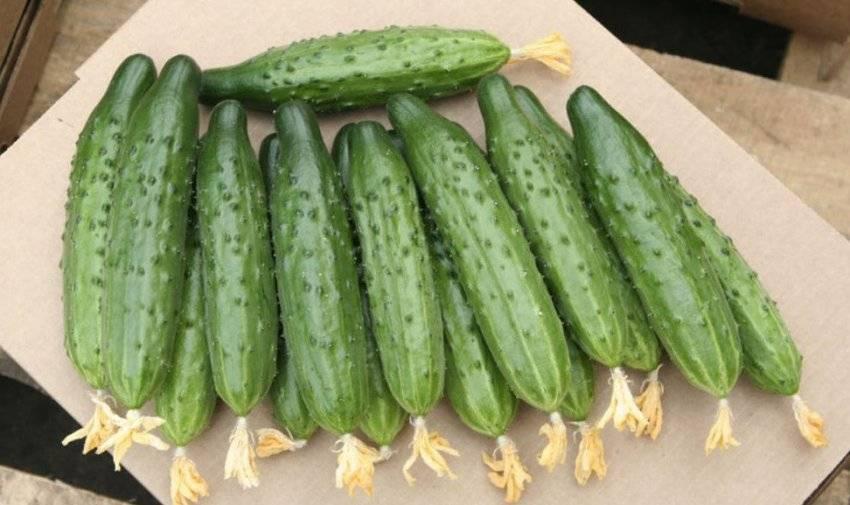 Огурец мамлюк f1: описание сорта, отзывы, фото, технология выращивания, характеристика, уход
