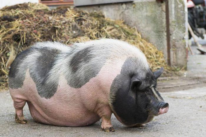 Домашняя свинья - особенности ухода и выращивания (фото и видео)