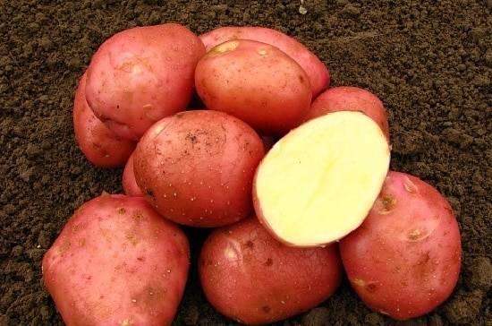 Картофель «Бела роса» (Белая роза): описание сорта, фото, отзывы