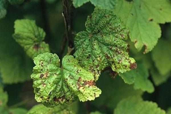 На смородине коричневые пятна на листьях – что делать