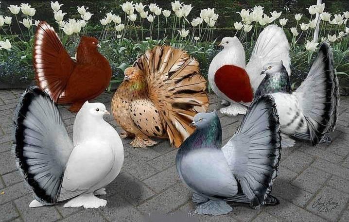 Венценосный голубь: описание, разновидности, фото, где обитает, чем питается