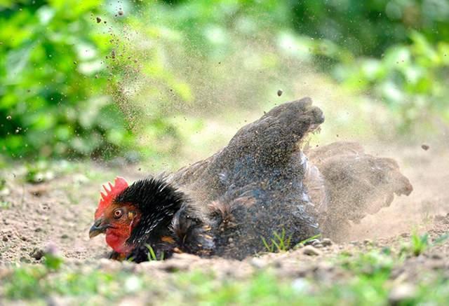 Как избавиться от куриных блох в курятнике: проверенные способы