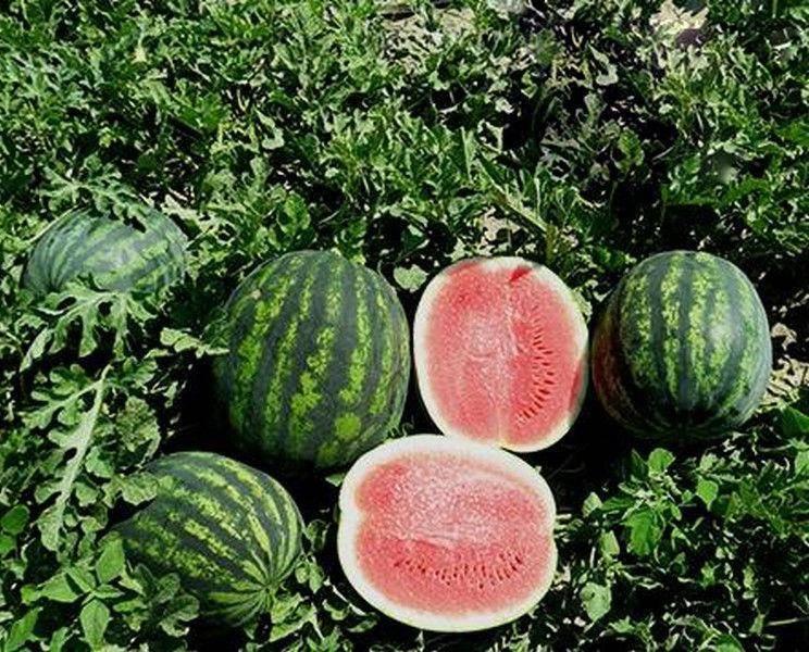 Как вырастить арбузы в средней полосе россии в открытом грунте и в теплице, сроки посадки, выбор сорта