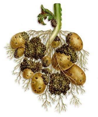 Рак картофеля: фото как выглядит и описание возбудителя, поражающего клубни растения, какова опасность для человека и меры борьбы