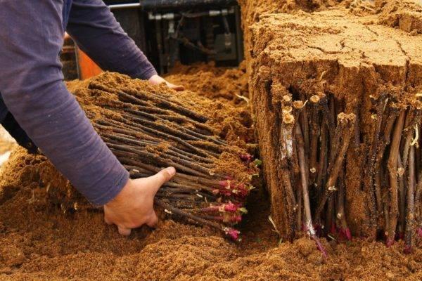 Правила заготовки черенков осенью и способы их хранения зимой