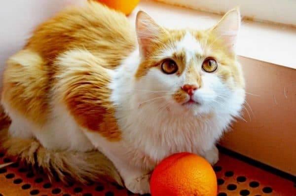 Воспитательная ароматерапия: запахи, которые отучат кошку от вредных привычек