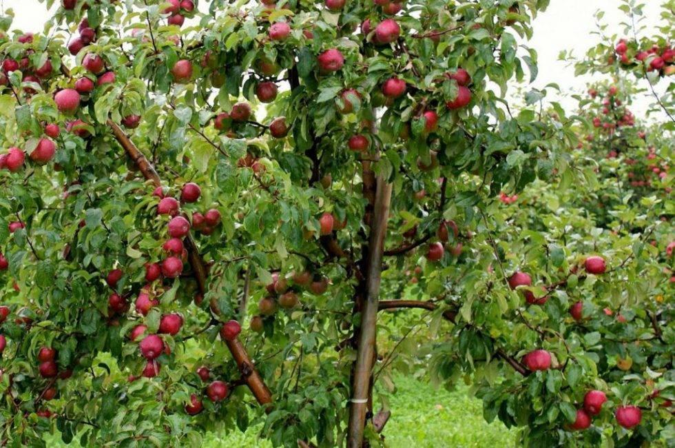 Полукарликовые сорта яблонь для подмосковья – дачные дела