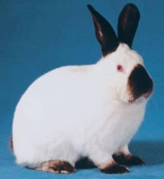 Кролики калифорнийской породы: описание, вес, содержание