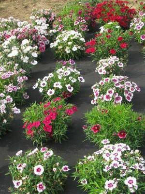 Гвоздика травянка - посадка и уход, лучшие сорта, размножение