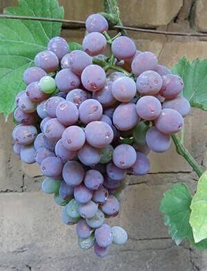 Виноград виктория, описание сорта: белая, розовая, румынская