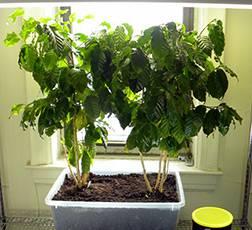 Кофе домашний - уход за комнатным растением, фото