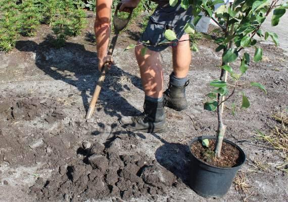 Как правильно посадить грушу осенью: пошаговое руководство, когда сажать, в ленинградской области, на урале, в сибири