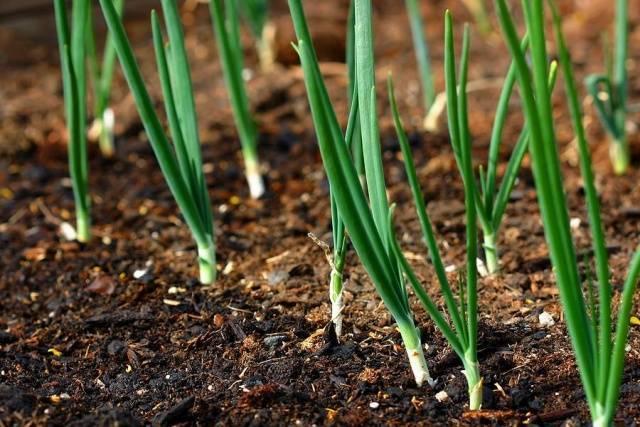 Как выращивается лук-чернушка на рассаду – сроки и правила посева