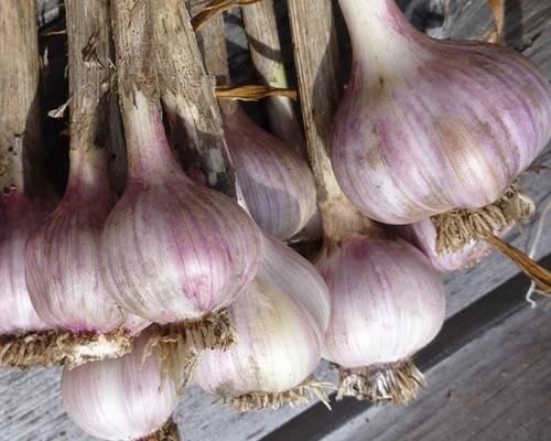 Чеснок: когда выкапывать и сажать новый. выращивание чеснока. когда убирать яровой чеснок