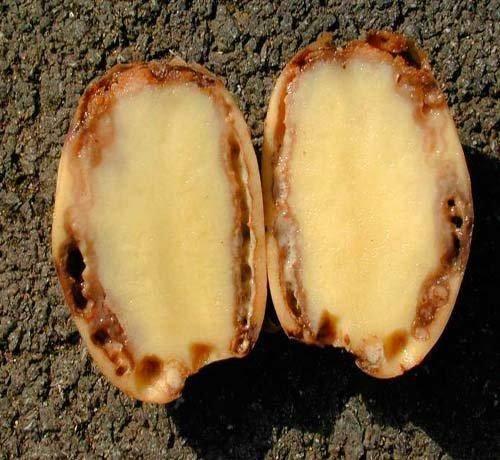 Болезни картофеля: фото, описание и способы лечения