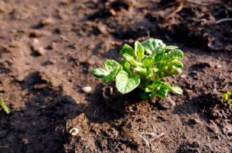 Внекорневая подкормка картофеля: нормы, рецепты