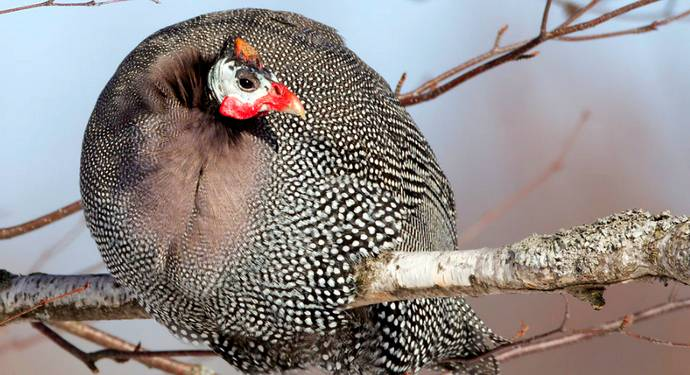 Волжские белые цесарки – неприхотливые птицы с белым мясом