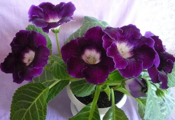 Размножение глоксинии листом: пошаговая инструкция, как правильно вырастить цветок фрагментами и целым органом в домашних условиях, а также полив водой, уход и фото русский фермер