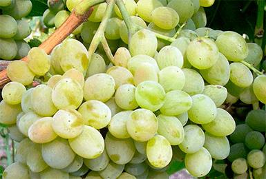 Выращивание винограда Элегант