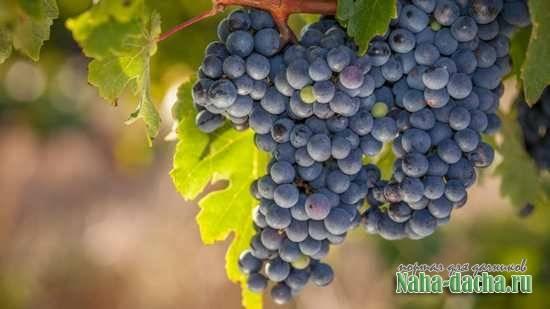 Виноград московский белый, описание белого московского винограда