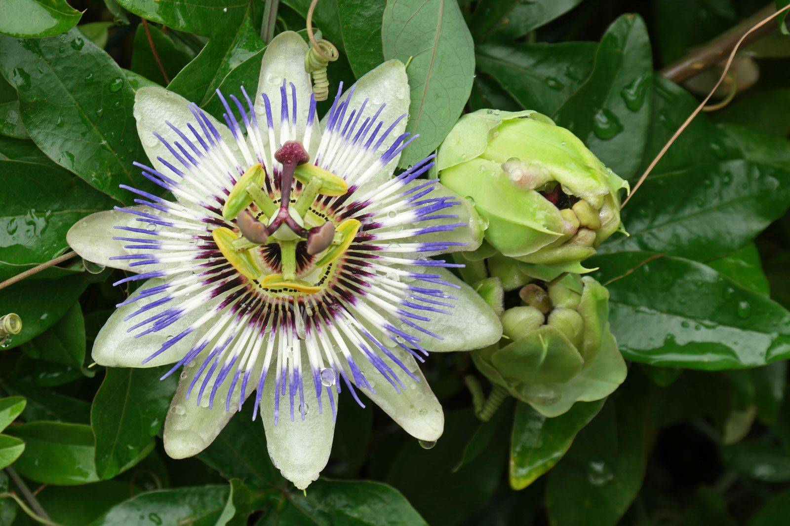 Выращивание пассифлоры: посадка, уход, размножения, условия для плодоношения маракуи | огородники