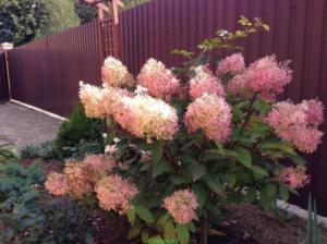 Гортензия фантом: описание и характеристики растения, посадка и особенности выращивания + отзывы садоводов и фото