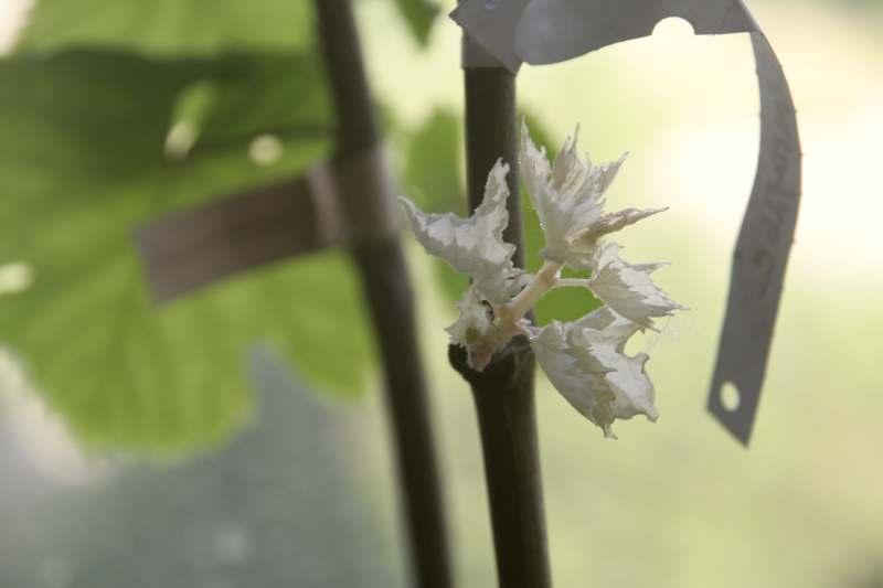 Когда открывать виноград после зимы: при какой температуре