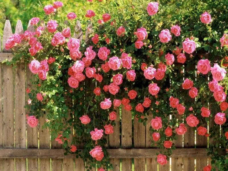 Кустовые розы: все про посадку и уход + советы как правильно выбрать сорт