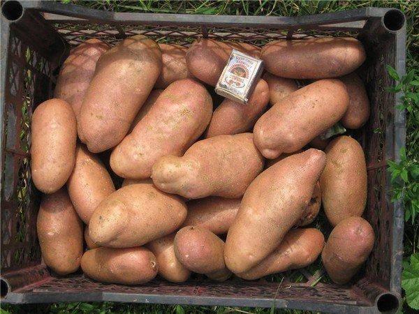 Картофель «свитанок киевский»: описание сорта, подробная характеристика и фото картошки