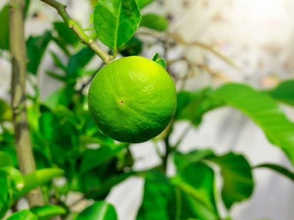Тонкости выращивание драцены лимон лайм в домашних условиях