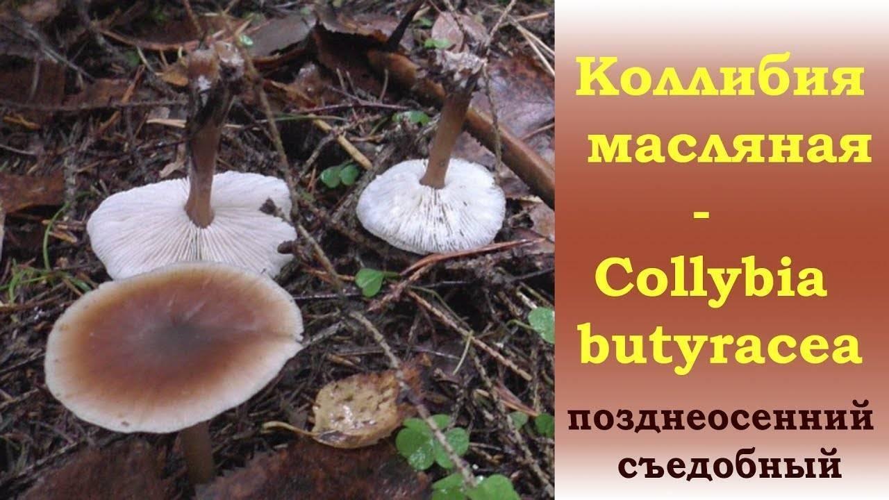 Гриб коллибия лесолюбивая масляная и другие - дневник садовода parnikisemena.ru