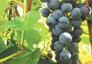 """Винограда """"вэлиант"""" (отважный) - особенности сорта, характеристика и описание гроздей"""