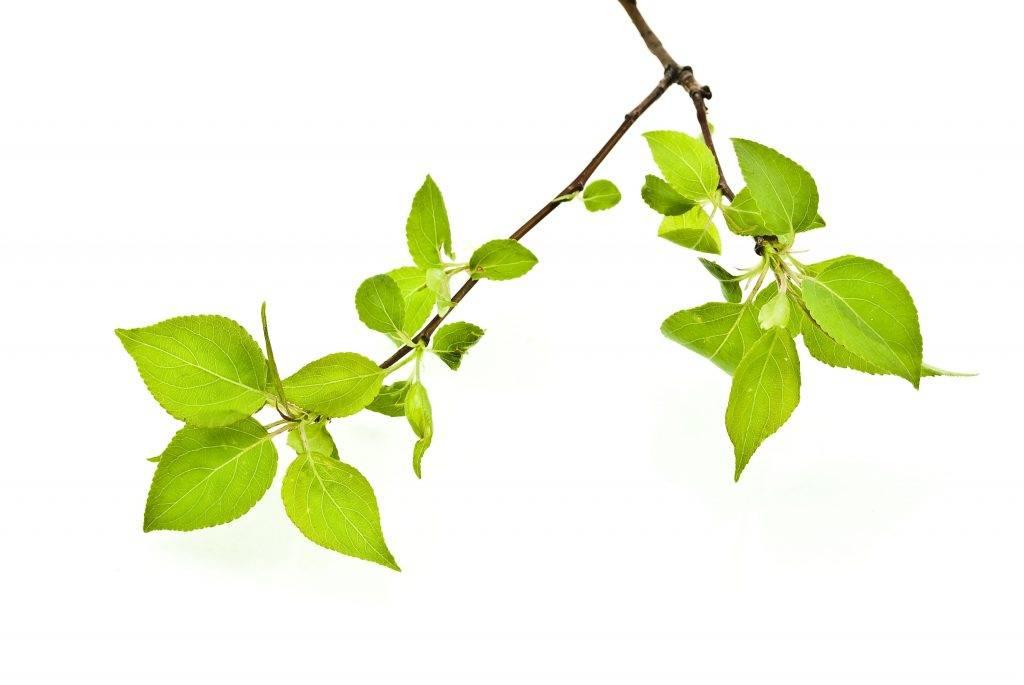 Как привить яблоню весной: пошаговая инструкция с описанием и фото, советы и рекомендации - sadovnikam.ru