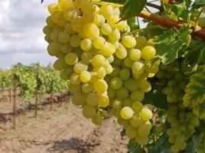Подкормка винограда осенью: применяем технологию на практике