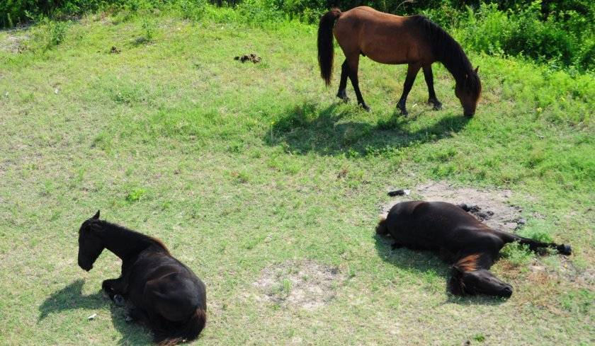 Как спят кони: наука о снах лошадей, особенности, продолжительность сна, фото
