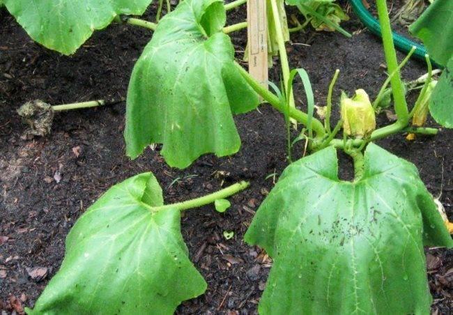 Почему вянут листья у огурцов в теплице и открытом грунте: причины и их лечение