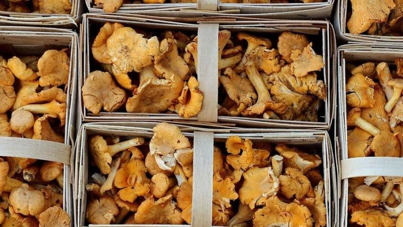 Всё о пользе грибов лисичек - лечебные свойства, использование в народной медицине и не только, противопоказания и так далее
