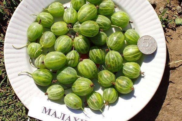 Крыжовник малахит: описание сорта, выращивание и уход