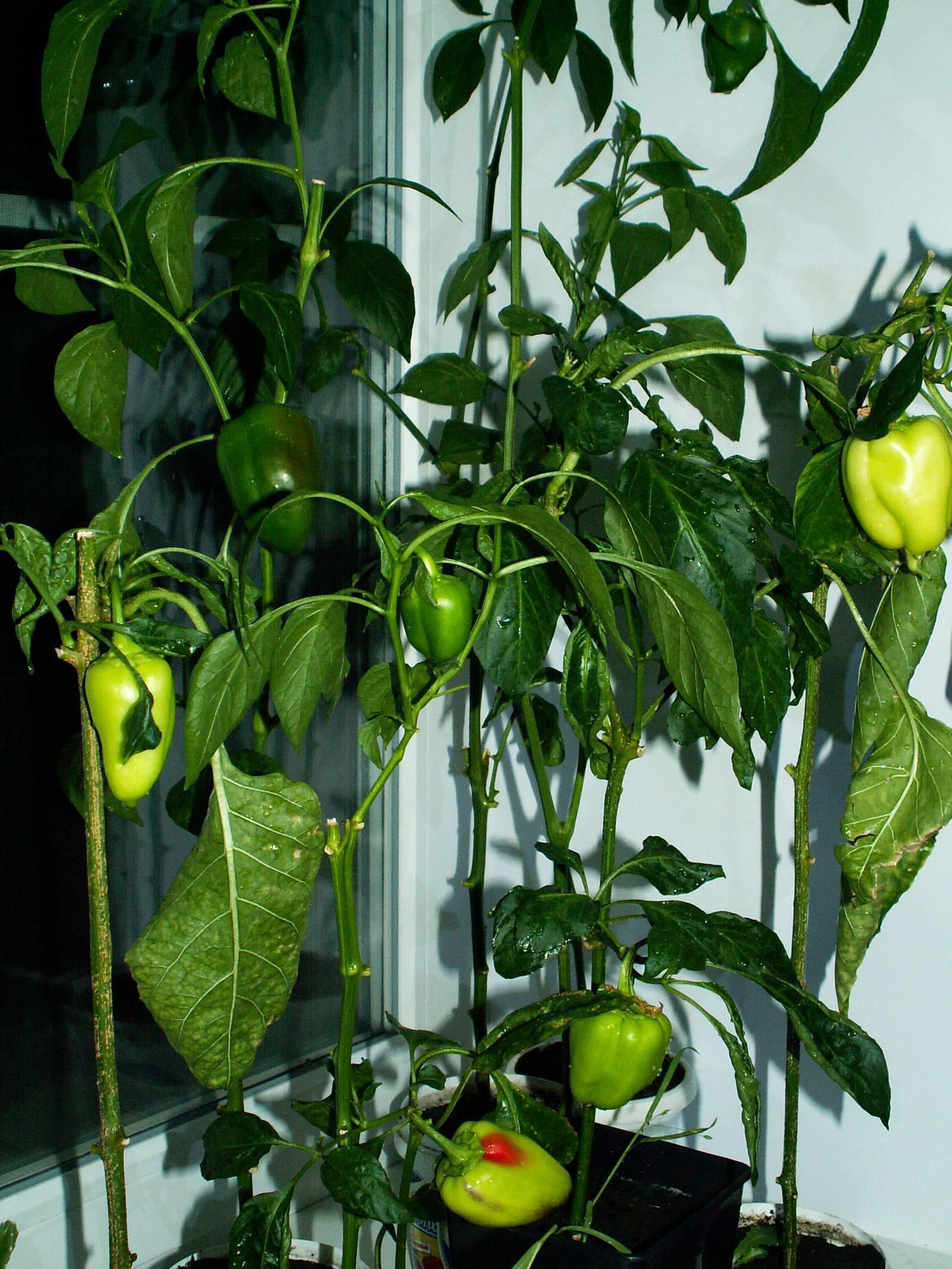 Как вырастить перец дома на подоконнике: пошаговая инструкция