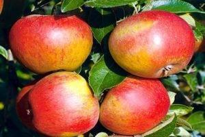 Описание сорта яблони мечтательница: фото яблок, важные характеристики, урожайность с дерева