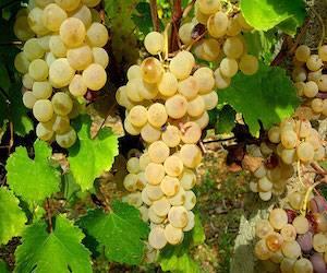 Американский виноград: топ лучших сортов с фото и видео