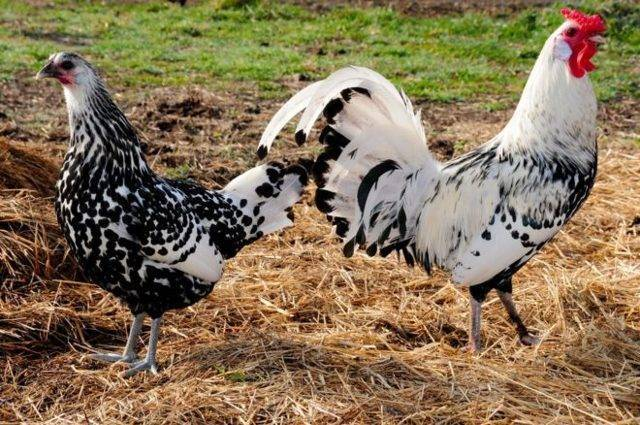 Самые яйценоские породы кур: описание, характеристики