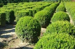 Растение самшит: фото и описание дерева, посадка, уход и размножение самшита в саду