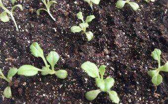 Выращивание астры из семян: посев на рассаду, правила ухода и пикировки